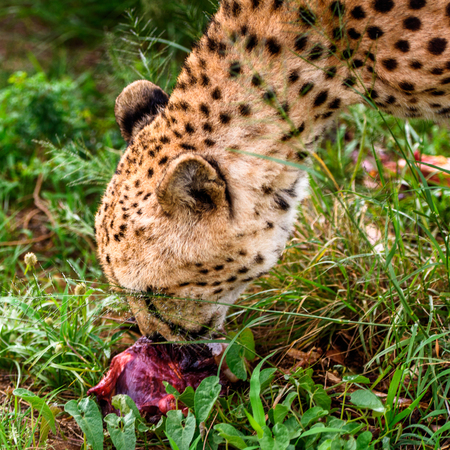 Close up of a Cheetah eating meat at the Naankuse Wildlife Sanctuary, Namibia, Africa