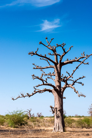 Baobab in Africa, Senegal