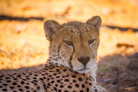 Leopard in South Africa