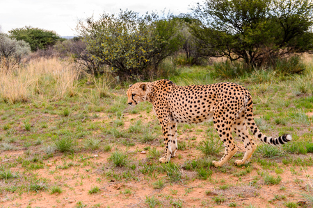 Cheetah at the Naankuse Wildlife Sanctuary, Namibia, Africa Stock Photo
