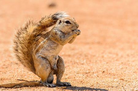 Meerkat (Suricate) eats a nut in Namibia