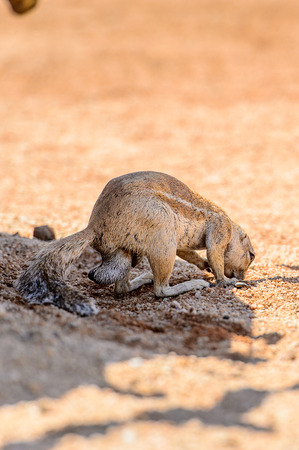 Meerkat close view in Namibia Stock Photo