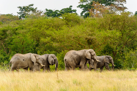 Flock of the African elephants crosses the savanna in front of the green trees