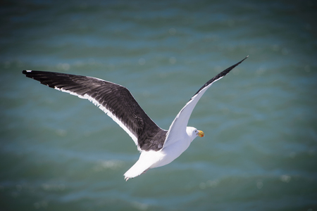 Sea gull with black wings flies over the ocean Banque d'images