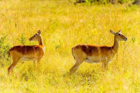 Deers in the grass, Uganda, Africa