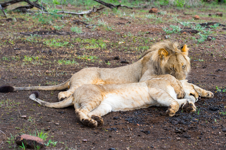 Lion and lioness play together on the ground in Zimbabwe, Africa