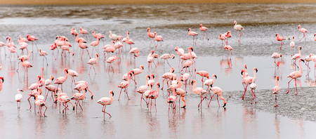 Flock of pink flamingos Banque d'images - 106144985