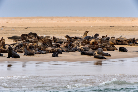 Group of the Sea lions on the coast of the Atlantic Ocean, Namibia Stockfoto