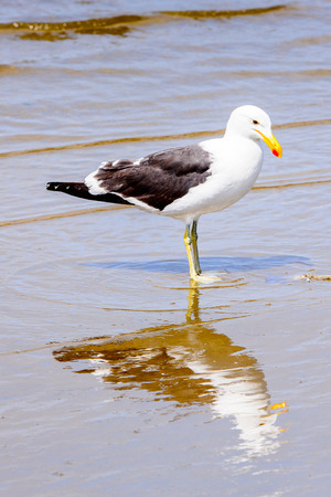 Albatross on a coastline of the Atlantic Ocean,  the Walvis Bay, Namibia Stock Photo