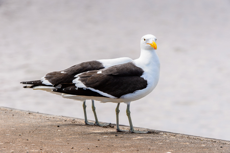 Albatross of the Walvis Bay, Atlantic Ocean, Namibia Stock Photo