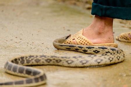 Asian Cobra intenta morder una pierna humana