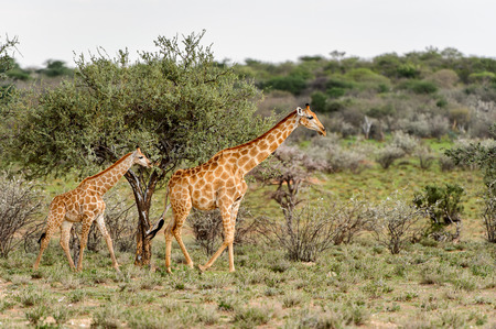 Two Giraffes in the Erindi Private Game Reserve, Namibia