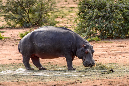 Hippo walks near a river