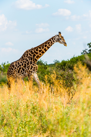 Giraffe portrait in the Moremi Game Reserve (Okavango River Delta), National Park, Botswana