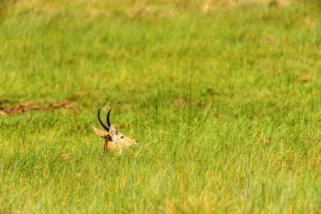 Antelope hides in the grass in the Moremi Game Reserve (Okavango River Delta), National Park, Botswana