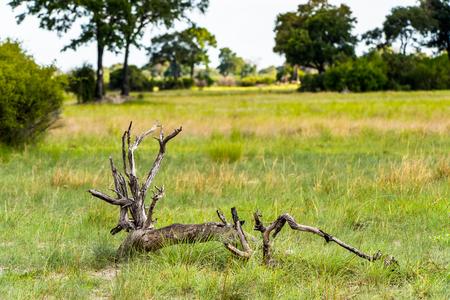 Landscape of the Okavango Delta (Okavango Grassland), One of the  Seven Natural Wonders of Africa, Botswana Stock Photo