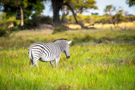 Zebra walks on the grass in the Moremi Game Reserve (Okavango River Delta), National Park, Botswana