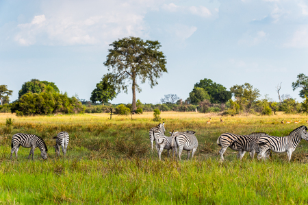 Zebras flock in the Moremi Game Reserve (Okavango River Delta), National Park, Botswana Reklamní fotografie