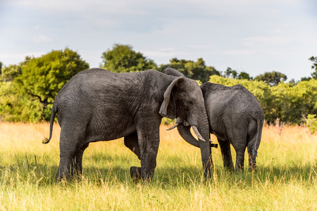 Couple of Elephants in the Moremi Game Reserve (Okavango River Delta), National Park, Botswana