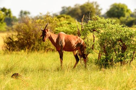 Antelope on the grass in the Moremi Game Reserve (Okavango River Delta), National Park, Botswana