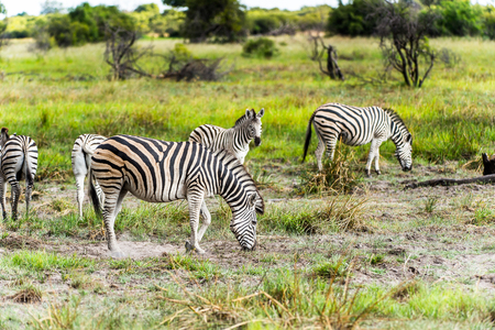 Zebra clpse view in the Moremi Game Reserve (Okavango River Delta), National Park, Botswana