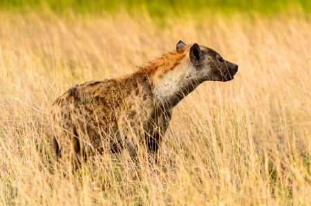 Hyena in the grass in the Moremi Game Reserve (Okavango River Delta), National Park, Botswana