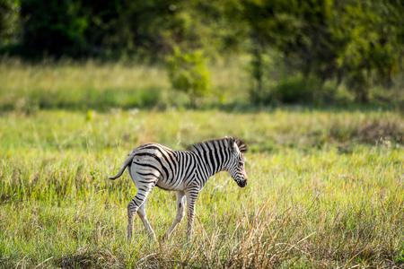 Zebra in the Moremi Game Reserve (Okavango River Delta), National Park, Botswana