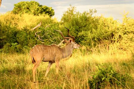 Antelope Kudu in the Moremi Game Reserve (Okavango River Delta), National Park, Botswana