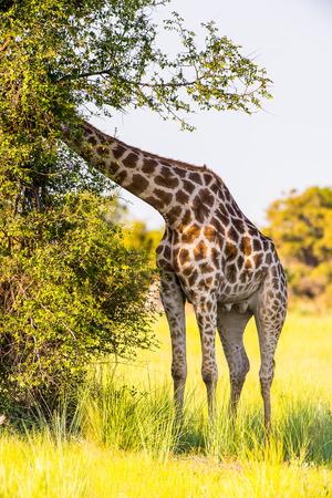 Beautiful Giraffe in the Moremi Game Reserve (Okavango River Delta), National Park, Botswana