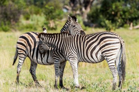 Zebras flock in the Moremi Game Reserve (Okavango River Delta), National Park, Botswana Фото со стока