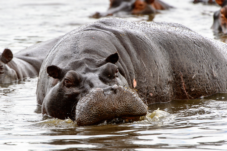 Scary Hippopotamus in the water, in the Moremi Game Reserve (Okavango River Delta), National Park, Botswana Imagens