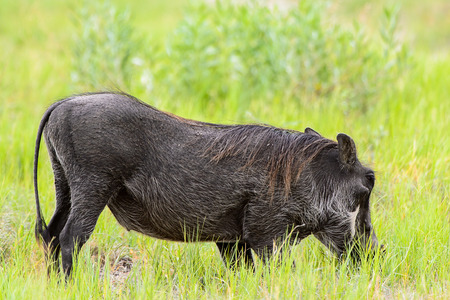 Wildschwein frisst Gras im Moremi Game Reserve (Okavango River Delta), Nationalpark, Botswana