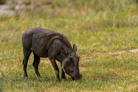 Wild boars flock in the Moremi Game Reserve (Okavango River Delta), National Park, Botswana Фото со стока