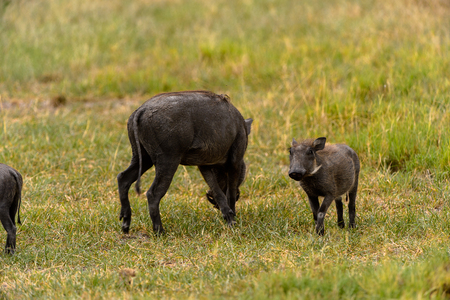 Wild boar and a baby in the Moremi Game Reserve (Okavango River Delta), National Park, Botswana Фото со стока