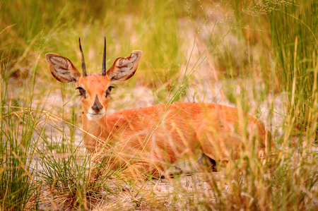 Little deer lays on the grass in the Moremi Game Reserve (Okavango River Delta), National Park, Botswana
