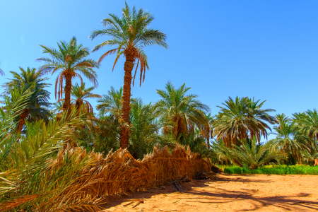 Palms in the oaisis of the Sahara Desert , Africa