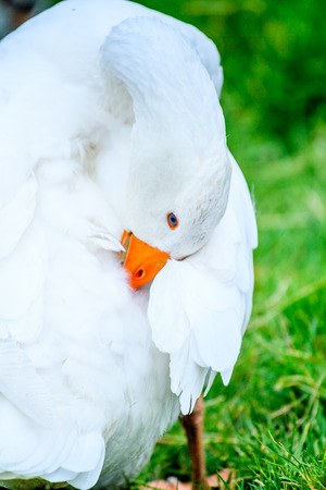 Close up of a duck on the grass, Faroe Islands.