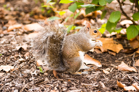 Squirrel eats a hazel nut in New York, USA