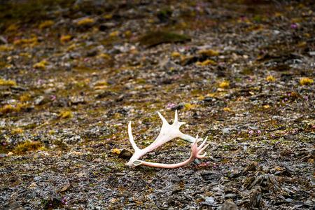 Deer horn on the ground of the Svalbard archipelago