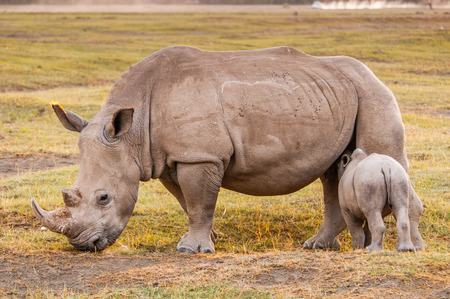Little baby of white rhinoceros and his mother in Kenya, Africa Stock Photo - 111703117