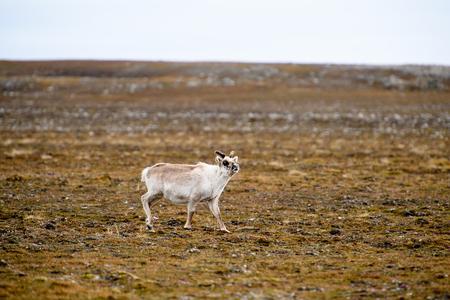 Reindeer in Spitzbergen 写真素材