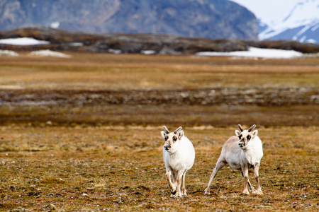 Reindeer in Spitzbergen 版權商用圖片