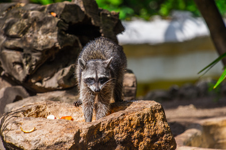 Raccoon on the stone in Mexico