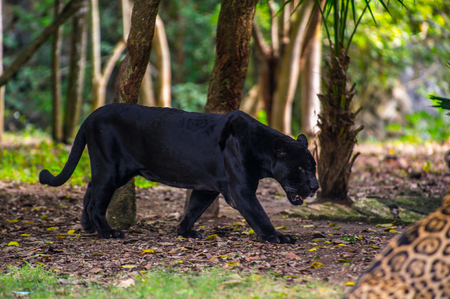 Black panther walks through the jungle