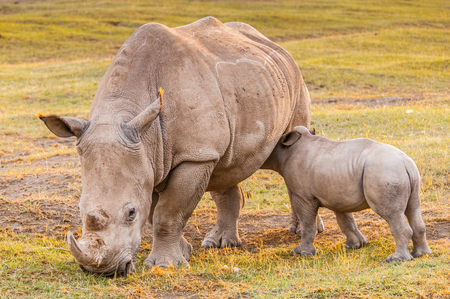 Little baby of white rhinoceros and his mother in Kenya, Africa 免版税图像