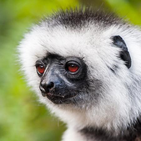 Portrait of a beautiful lemur in Madagascar