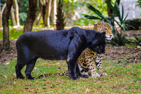 Black panther flirts with a leopard 스톡 콘텐츠
