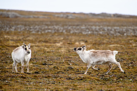 Reindeer in Spitzbergen Stock Photo