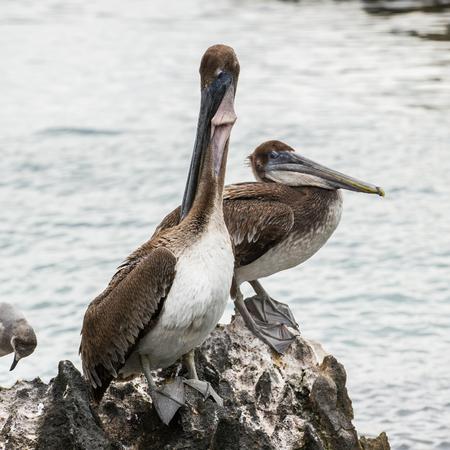 Pelican in Mexico