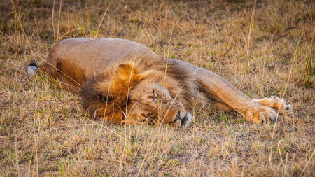 Lion, king of the jungle, in Kenya Stock Photo - 112534943